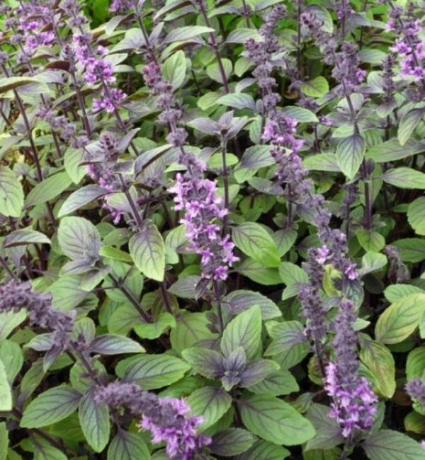 Blue Spice basil 100 seeds