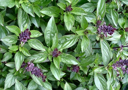 Cinnamon scented basil 100 seeds