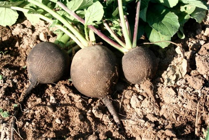 Round Black French winter Radish  1 gm seeds