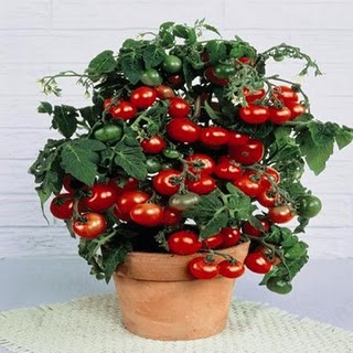 Tiny Tim Tomato 20 seeds