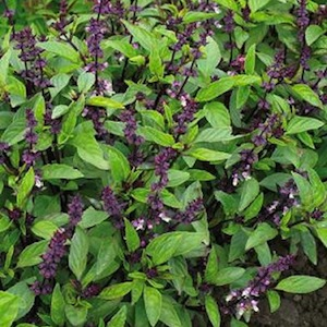 Queenette sweet Thai basil 100 seeds