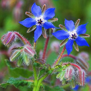 Blue Borage bourrache 20 seeds