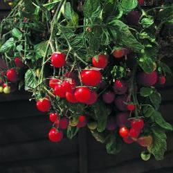 Gartenperle red cherry 20 seeds