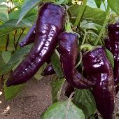 Purple Marconi Pepper 20 seeds