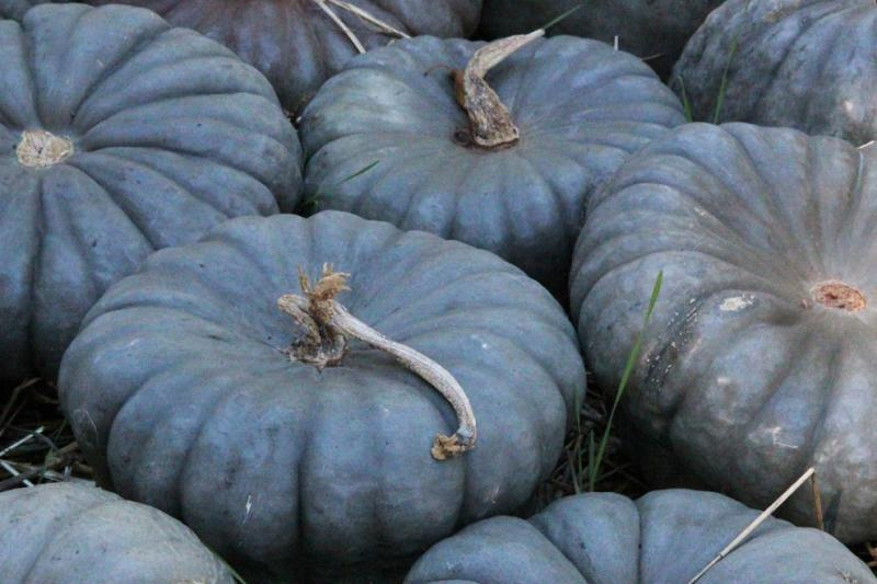 Queensland Blue squash 10 seeds