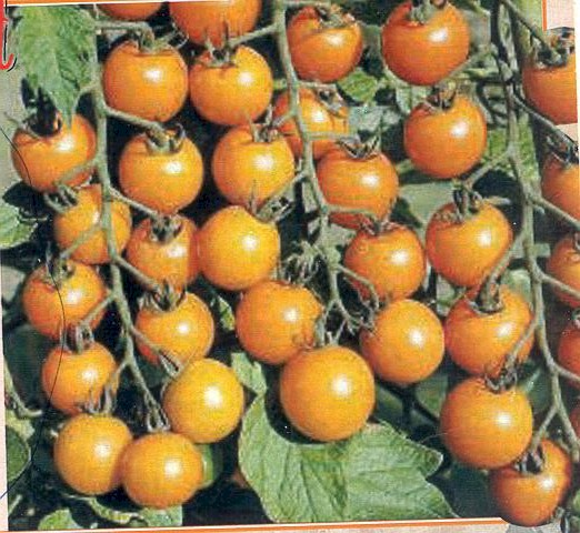 Sungold F1 orange cherry  10 seeds