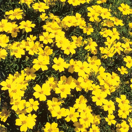 Tagetes Lemon Gem 50 seeds