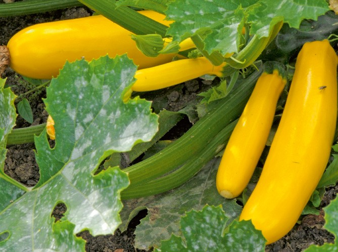 Golden zucchini courgette 10 seeds