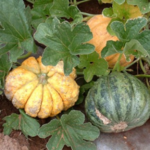 Zatta Ugly Italian Melon 10 seeds
